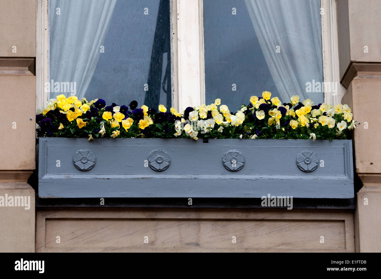 Window box with pansies, the Council House, Birmingham, UK - Stock Image