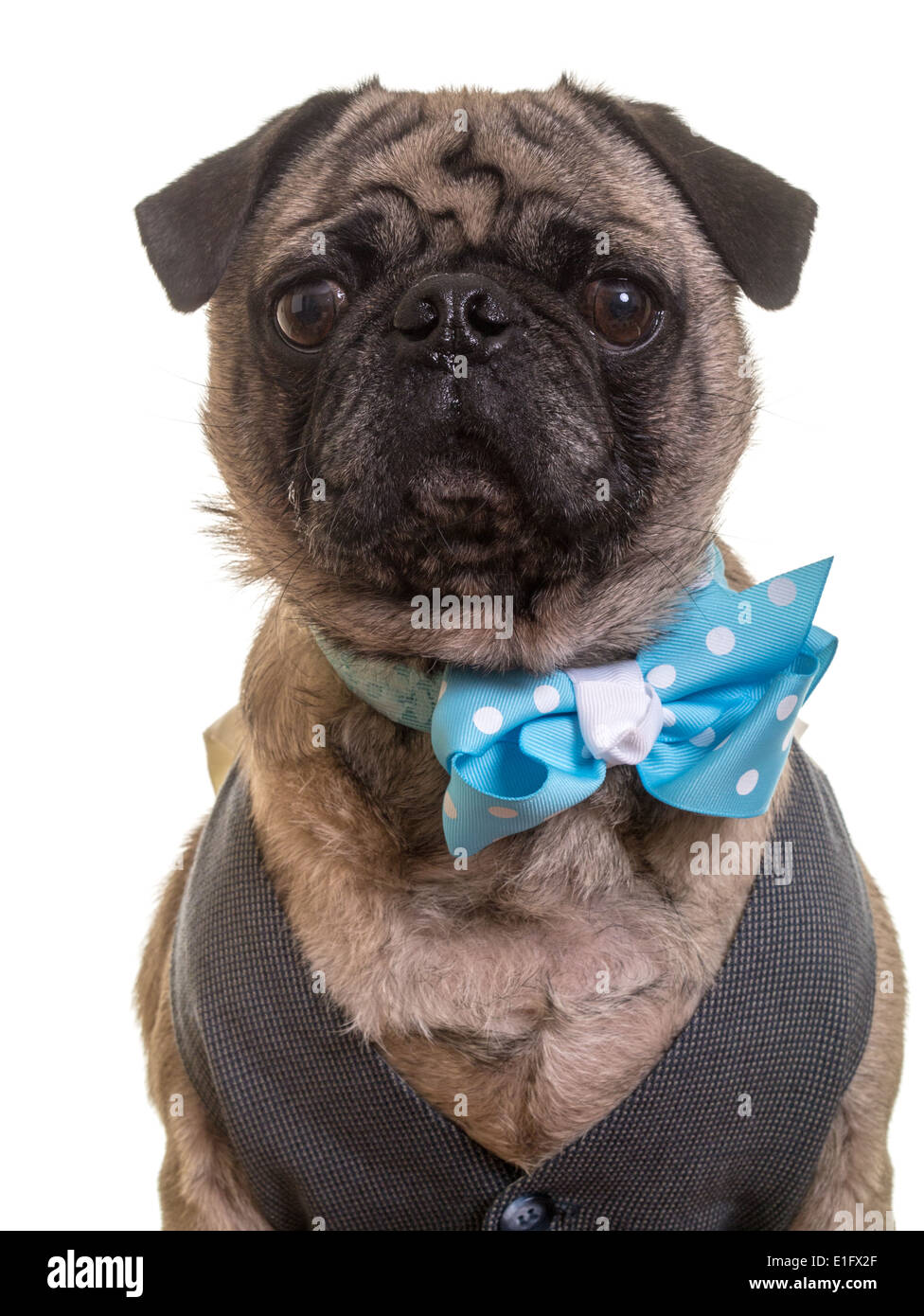 Cute pug dog wearing a vest and bow tie. - Stock Image