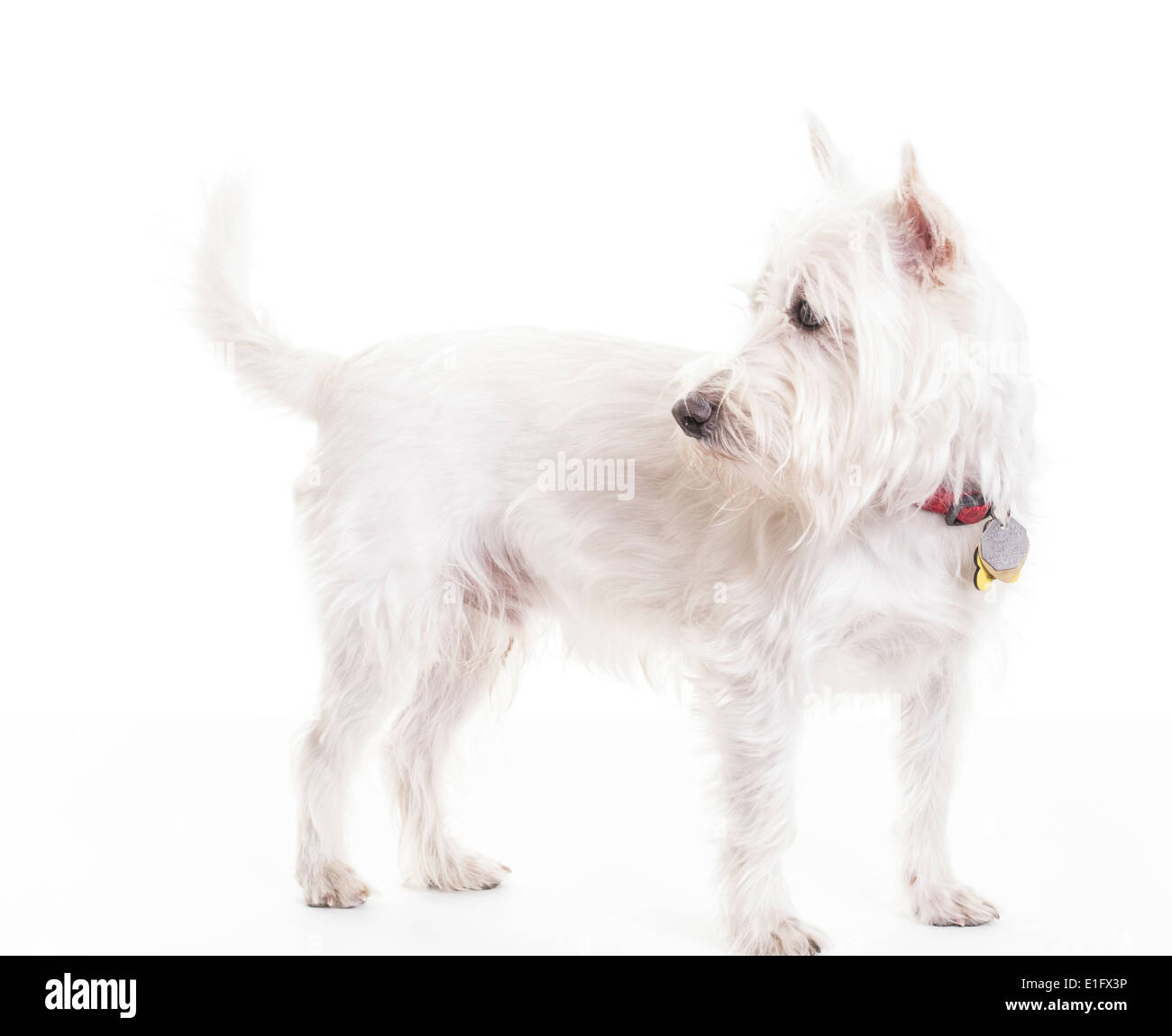A cute West Highlands White Terrier or Westie puppy dog. - Stock Image