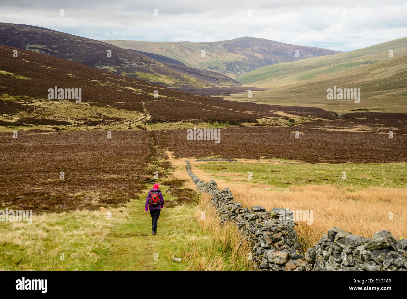 Walker on the Cumbria Way near Skiddaw House in the Northern fells of the Lake District - Stock Image