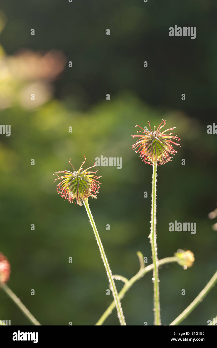 Velcro Weed Stock Photos & Velcro Weed Stock Images - Alamy
