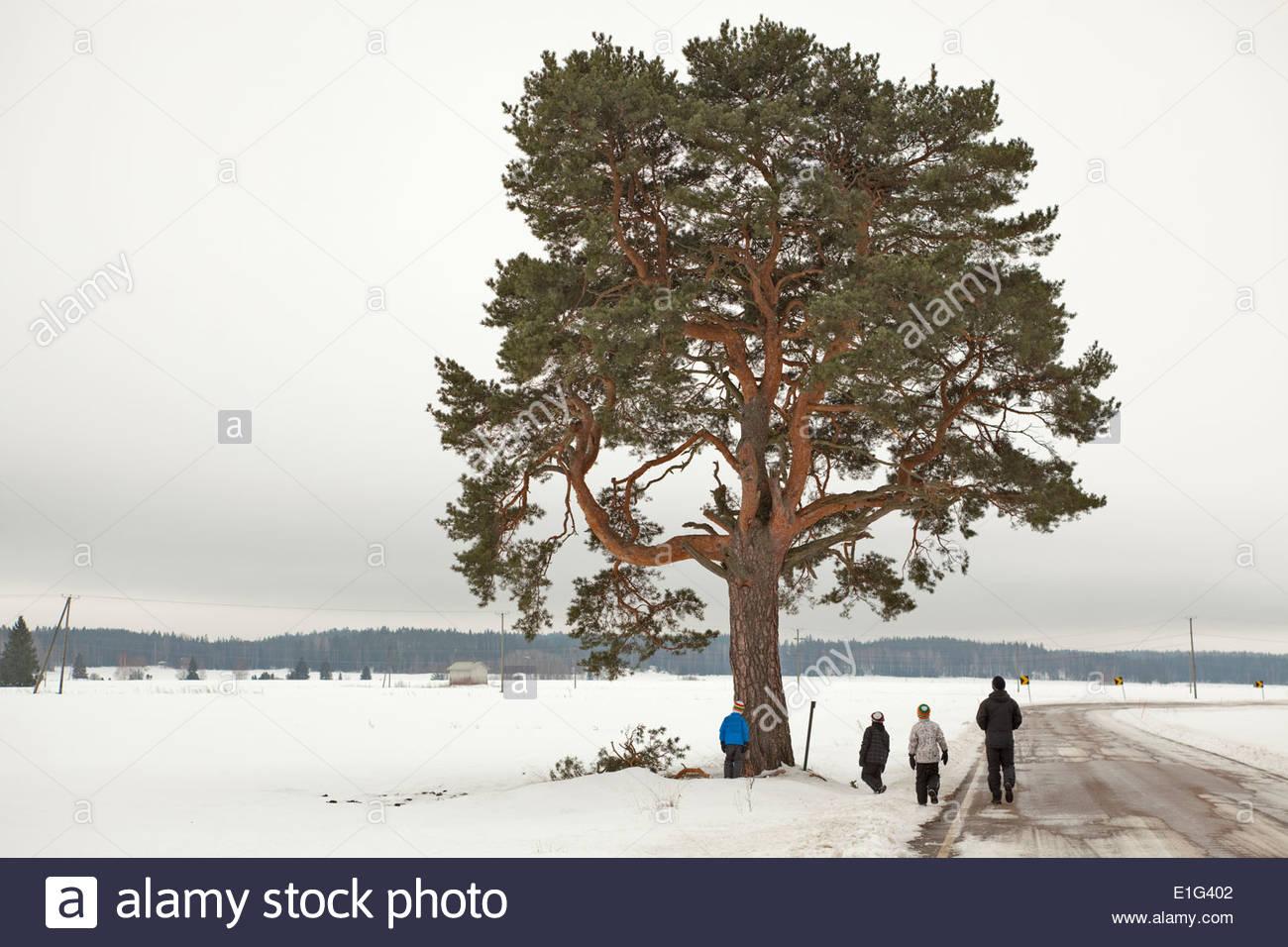 Pine tree - Stock Image