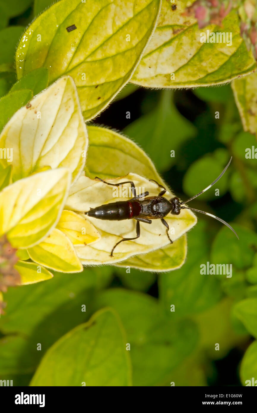 Ichneumon fly sp - Stock Image