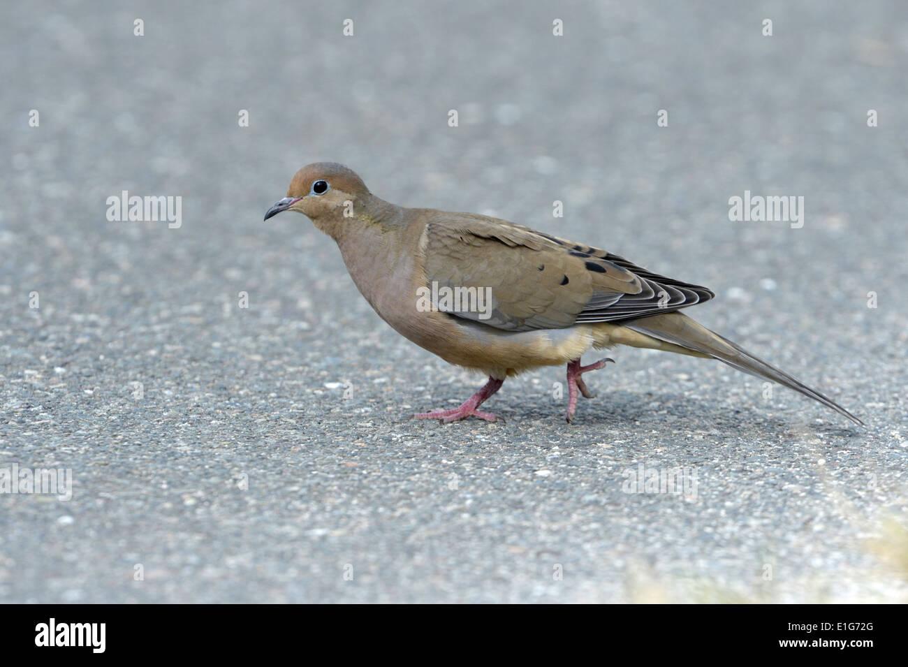 Mourning Dove - Zenaida macroura - 1st winter Stock Photo