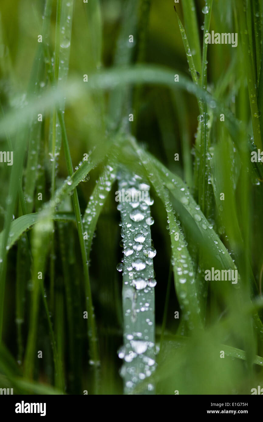 A Strand Of Green Grass On a Beautiful Early Dewy Morning With Drops Of Water On It Stock Photo