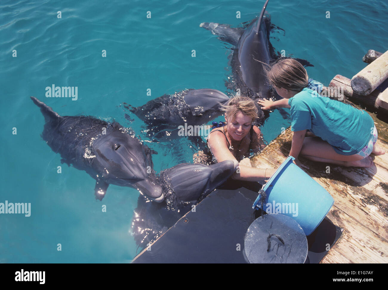 Dolphin trainer interacts with Bottlenose Dolphin (Tursiops truncatus) - Eilat, Israel, Red Sea. - Stock Image