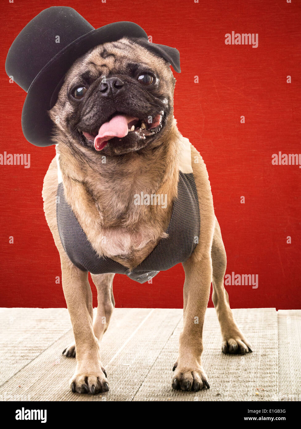 A friendly comical pug wearing a top hat and vest. - Stock Image