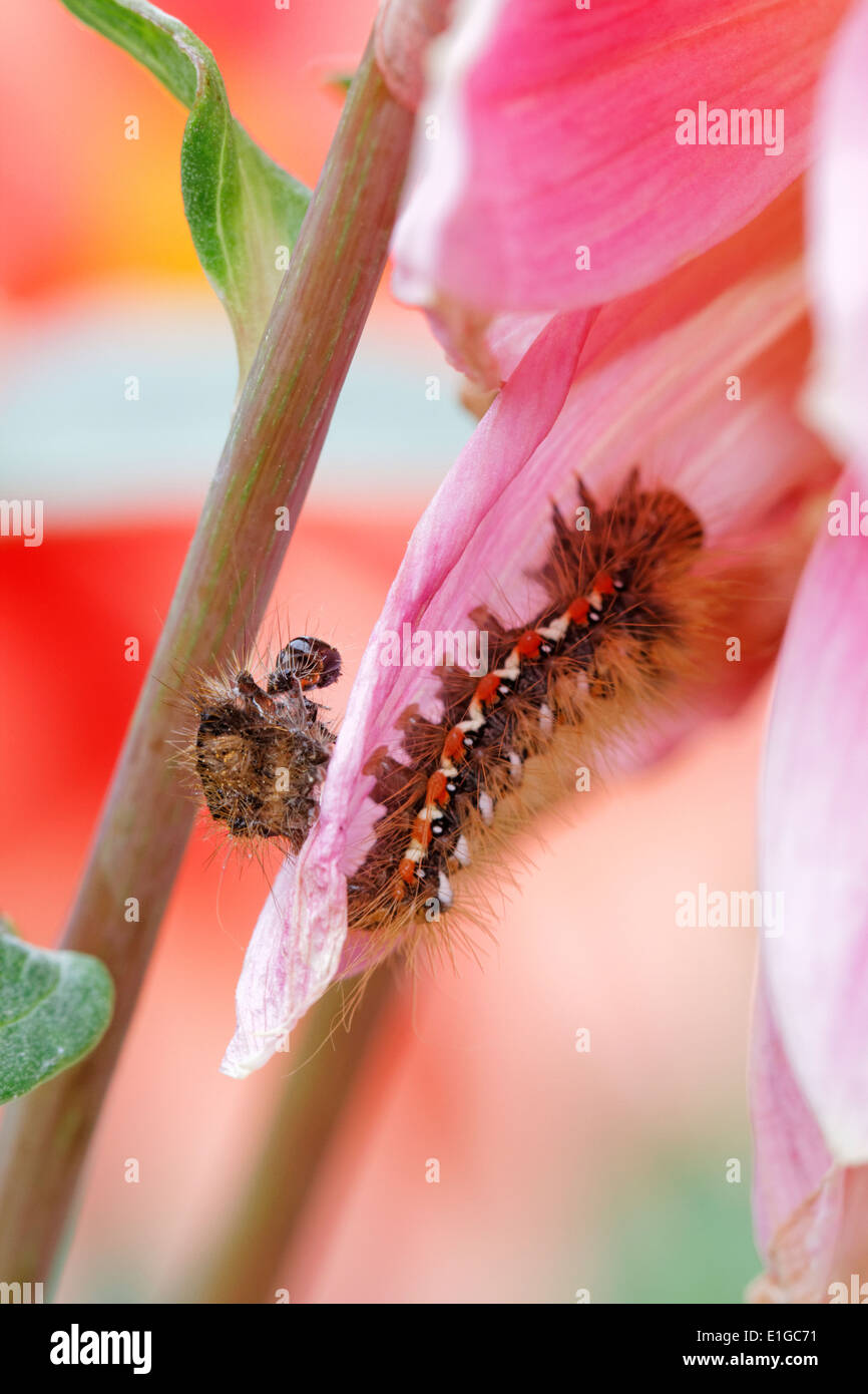 Larvae and he shed skin of the Knot grass moth (Acronicta rumicis) - Stock Image