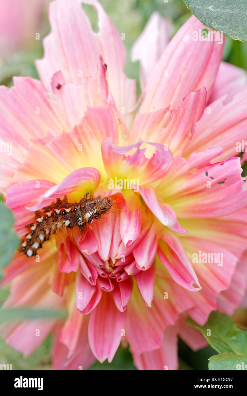 A dahlia flower head destroyed by the larvae of the Knot grass moth (caterpillar) - Stock Image
