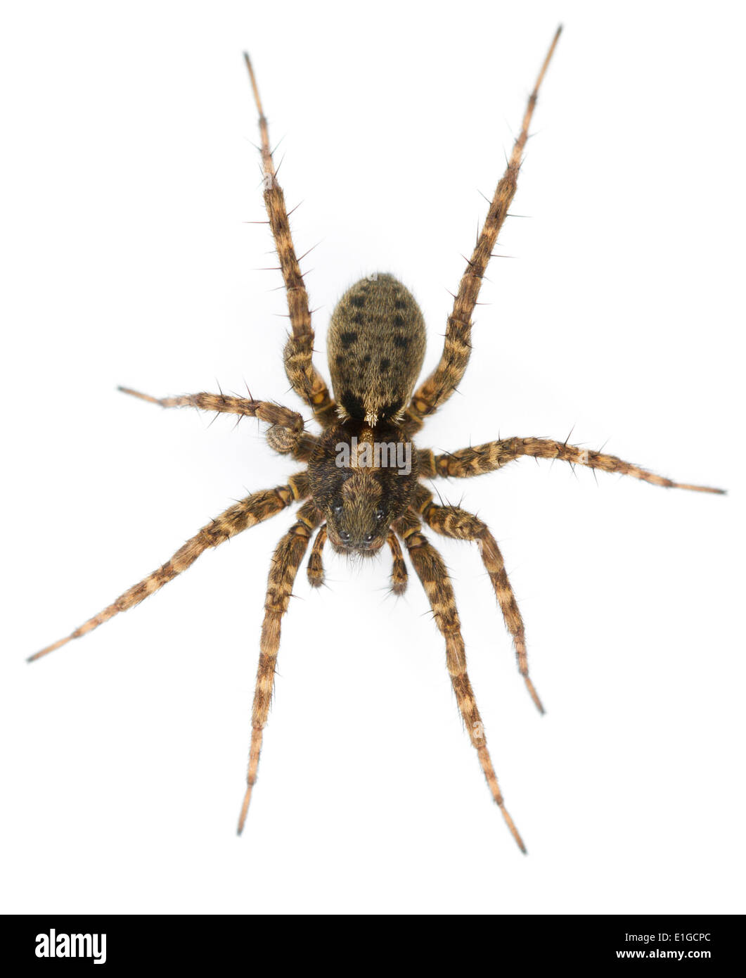 Pardosa amentata - Female - Stock Image