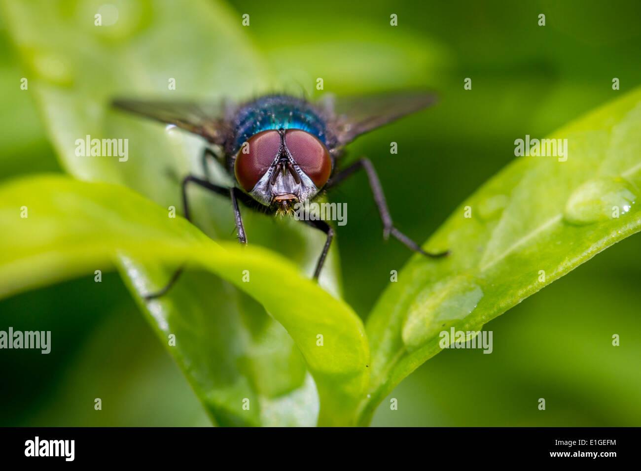 wildlife - Calliphora vomitoria bluebottle fly on leaf, UK - Stock Image