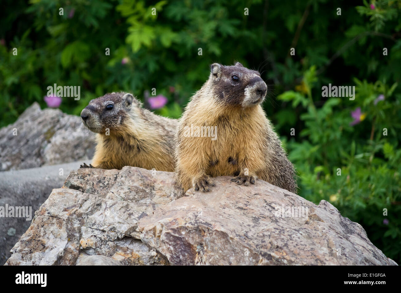 Two yellow-bellied marmots on a rock in the Okanagan area of British Columbia Canada. Marmota flaviventris - Stock Image