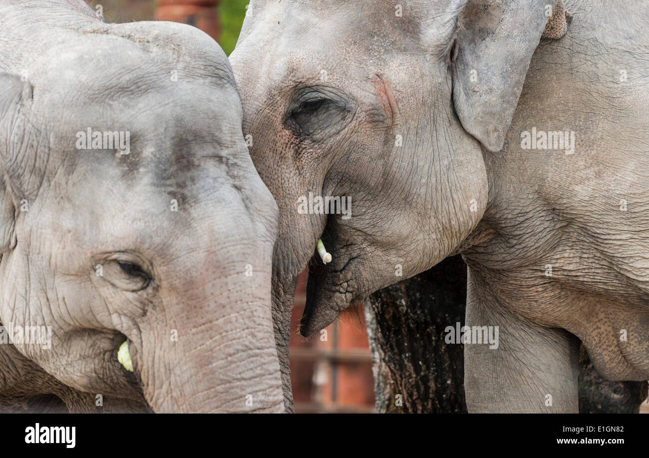 Zurich, Switzerland. 4th June 2014. Elephants of Zurich zoo are strolling in their new home and the zoo's new attraction: Stock Photo