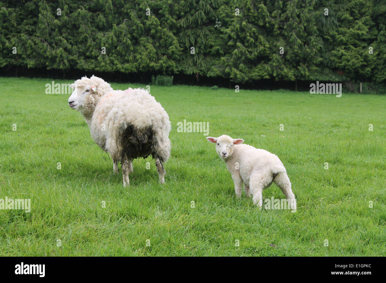 Mother Ewe with her Young Lamb - Stock Image