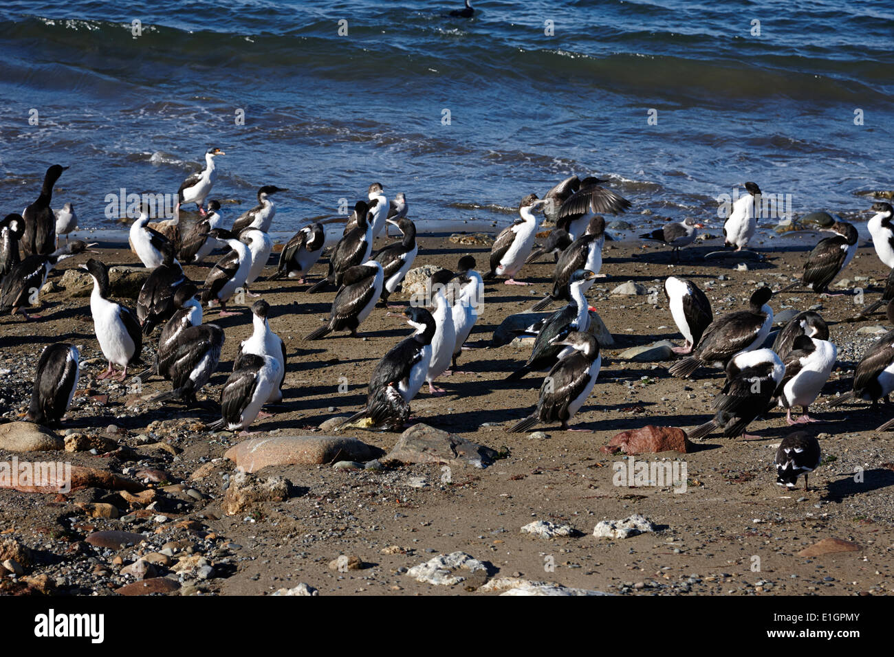 Imperial cormorants and other seabirds Punta Arenas Chile - Stock Image
