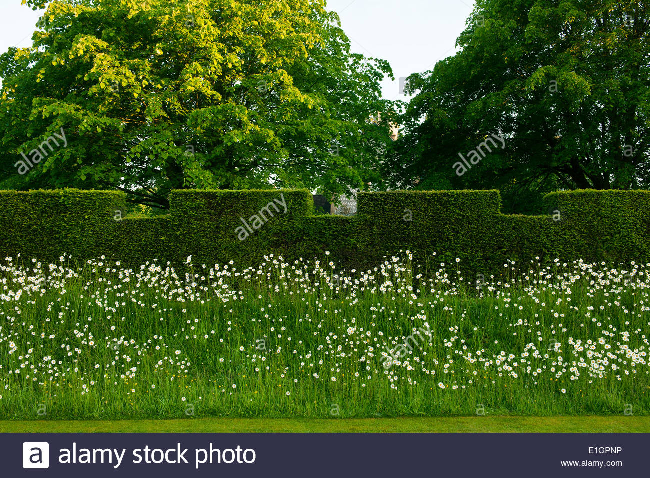Taxus baccata yew hedge formal castellated wildflower bank daisies Lucanthemum vulgare trees West Dean Sussex garden plant - Stock Image