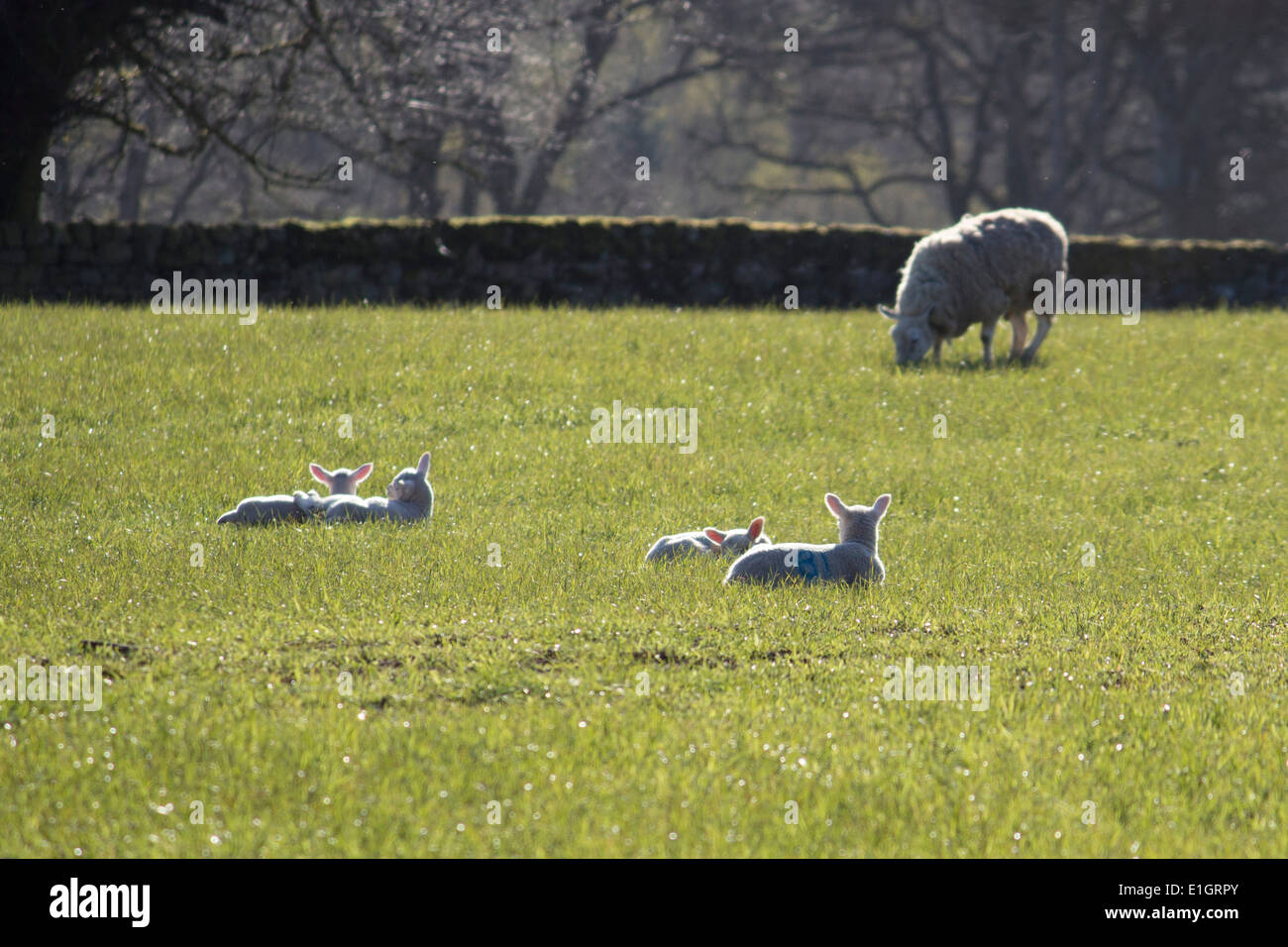 Spring Lambs In The Sunshine - Stock Image