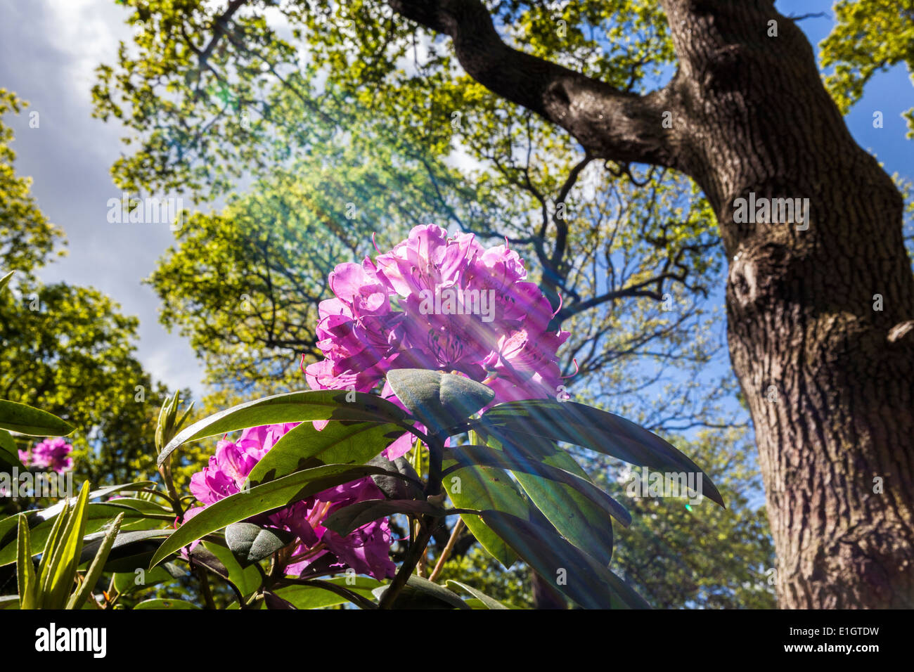 Rays of sunlight lighting pink rhododendron flower amongst the trees of Isabella Plantation, Richmond Park, Greater London - Stock Image