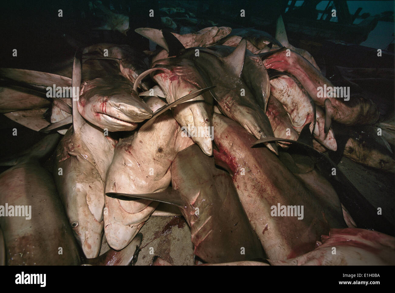 Pile of sharks off-loaded from Long-line fishing trip (Thoothoor Shark Fishermen), Cochin - India. - Stock Image