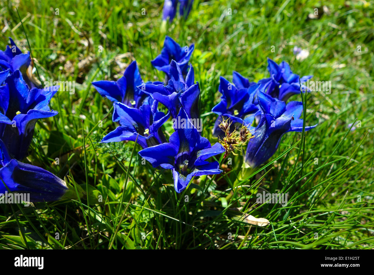 Blue gentians growing on green grassy slope, Gentiana - Stock Image