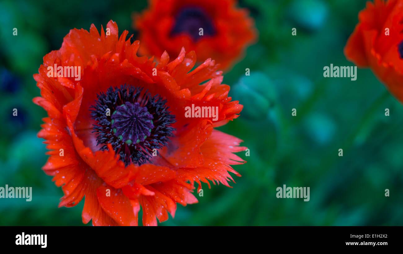Oriental Poppy 'Tükenlouis' - Stock Image