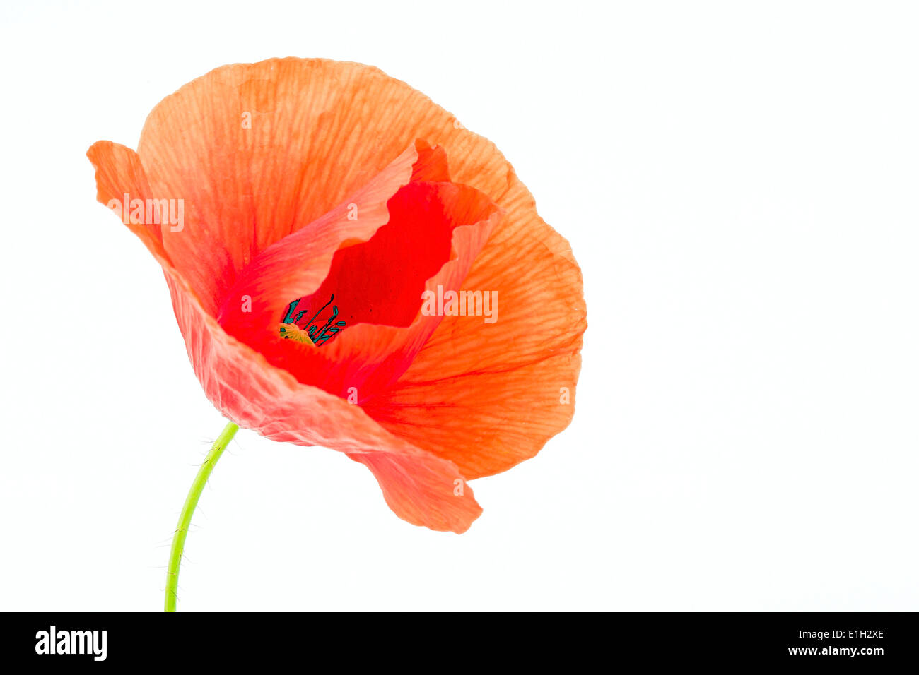 Poppy flower on a white background - Stock Image