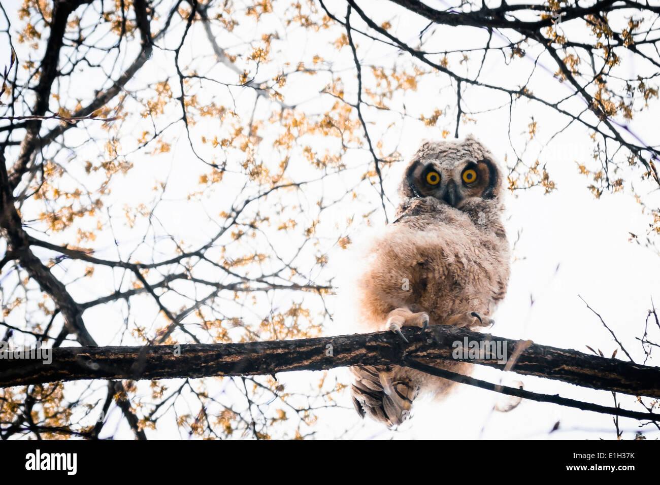 Great Horned Owlet (Bubo virginianus) peering down yellow eyes South Okanagan Valley Penticton British Columbia Canada - Stock Image