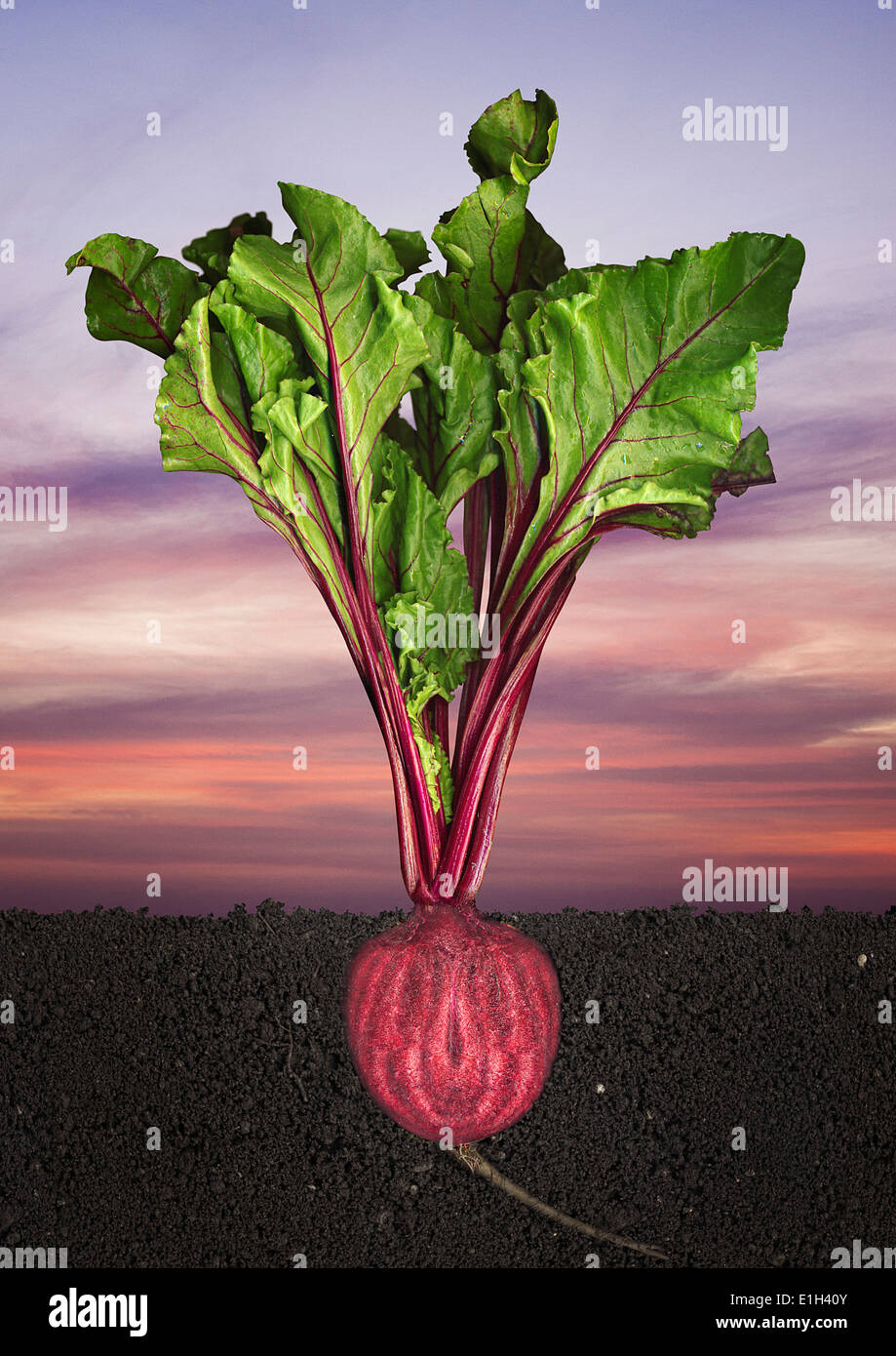 Halved beetroot growing in soil - Stock Image