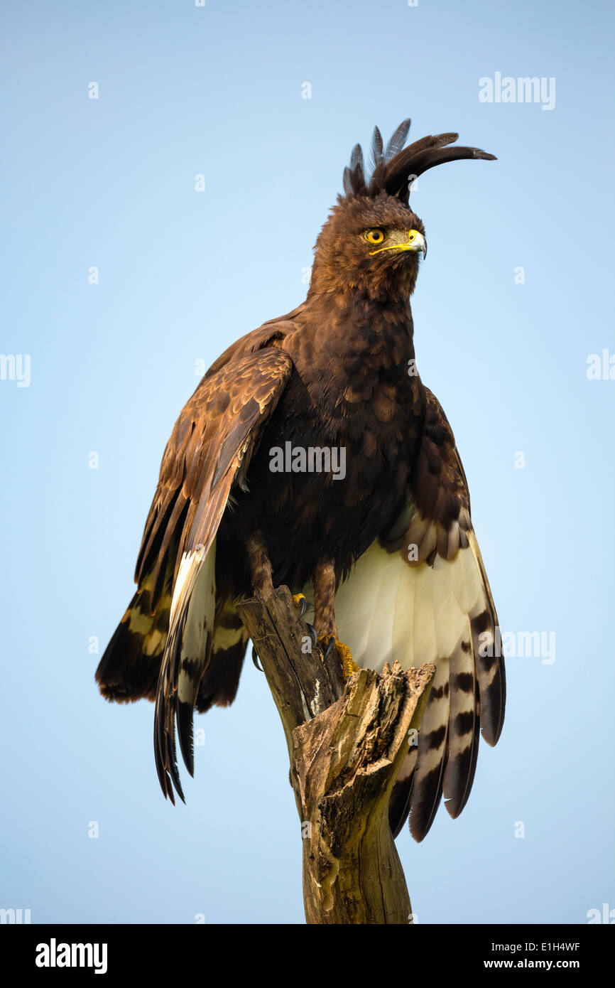 Long-crested Eagle (Lophaetus occipitalis), Lake Nakuru National Park, Kenya, Africa - Stock Image