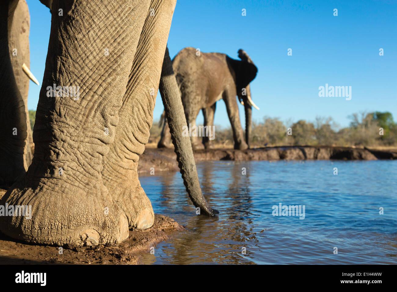African elephants (Loxodonta africana) at watering hole, Mashatu game reserve, Botswana, Africa - Stock Image