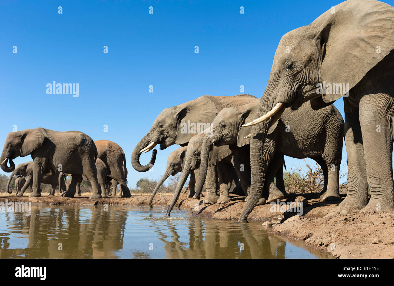 Herd of African elephants (Loxodonta africana) drinking at watering hole, Mashatu game reserve, Botswana, Africa Stock Photo