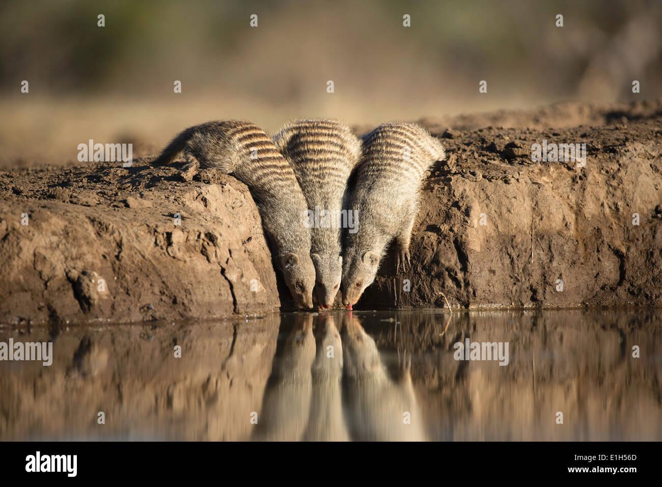 Three banded mongoose (Mungos mungo) at watering hole Mashatu game reserve, Botswana, Africa - Stock Image