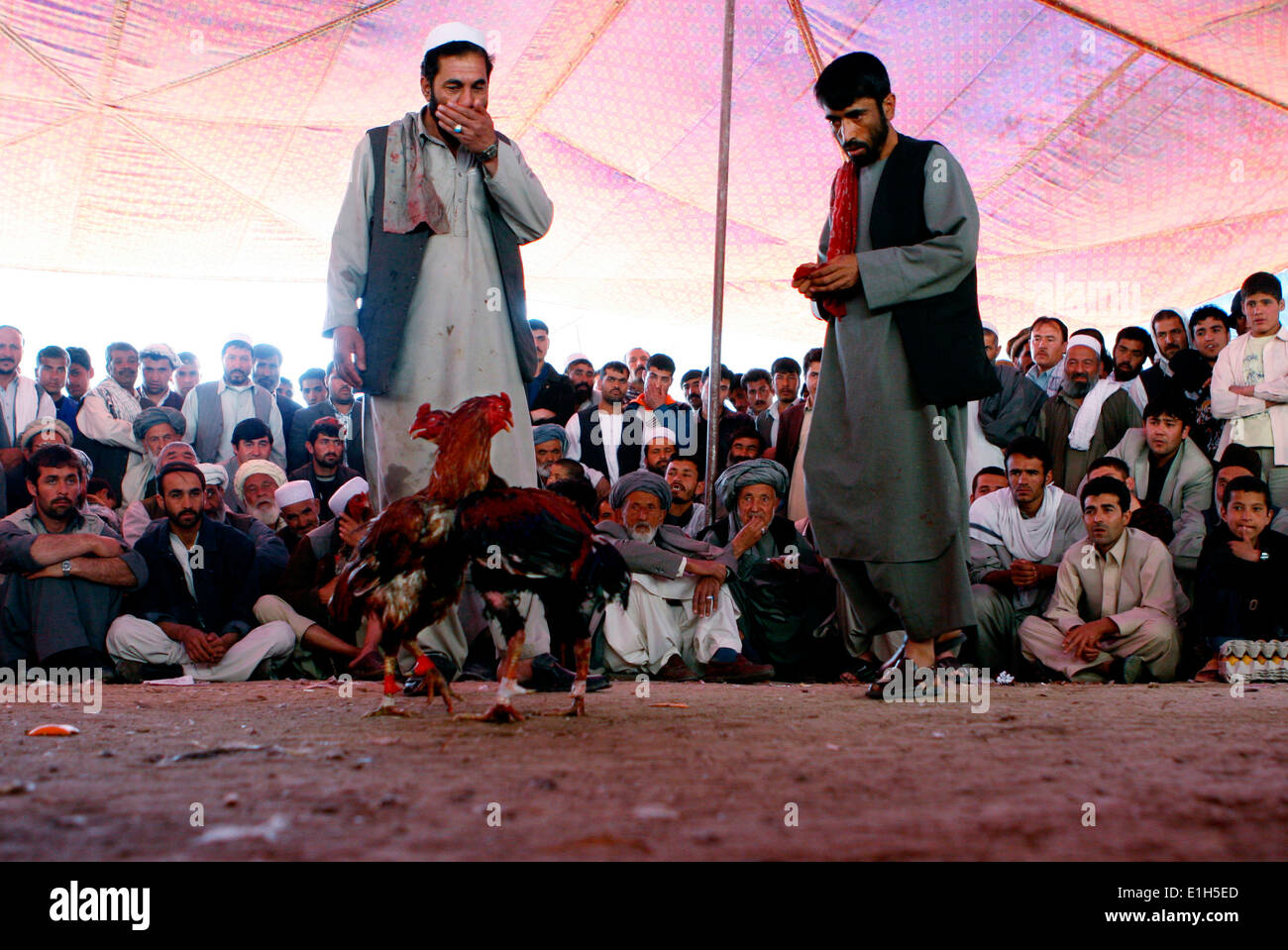 Kabul, Afghanistan, 2008. Cook fighting, a popular sport at Babul-garden in the Afghani capital. - Stock Image
