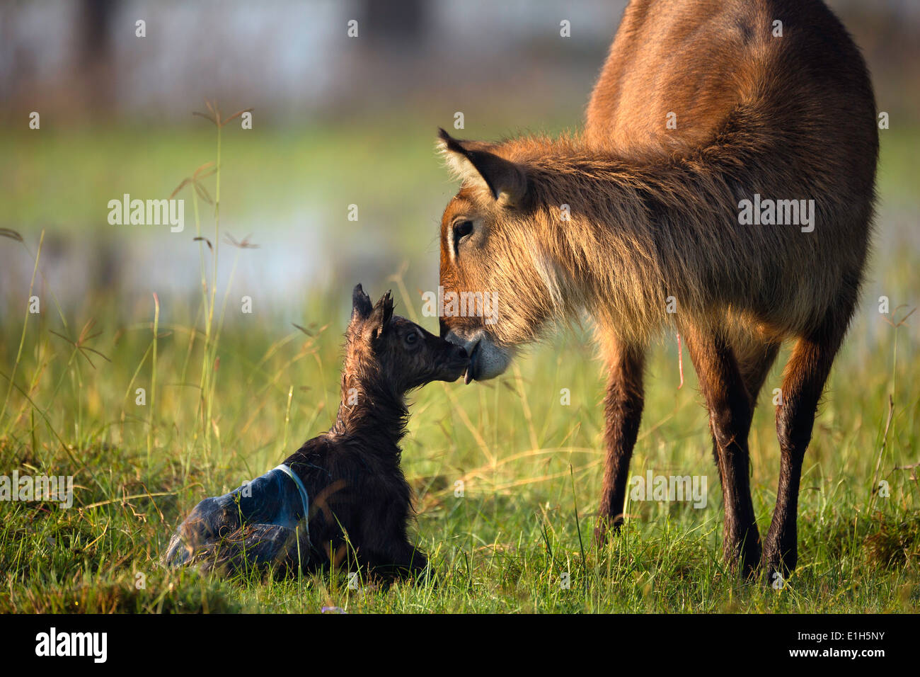 Mother and baby waterbuck (Kobus ellipsiprymnus), Lake Nakuru National Park, Kenya, Africa Stock Photo