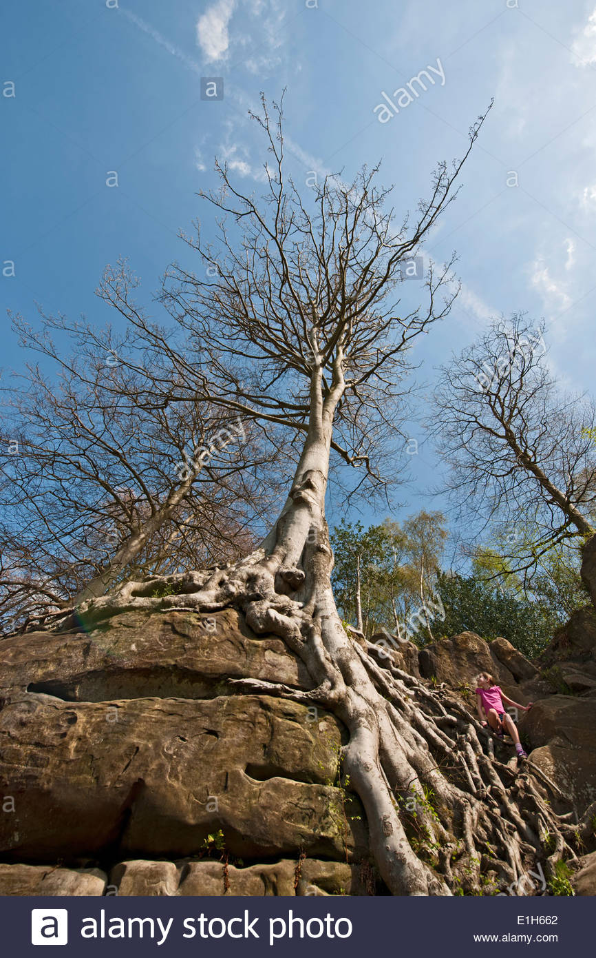 Girl climbing tree roots on rock face - Stock Image