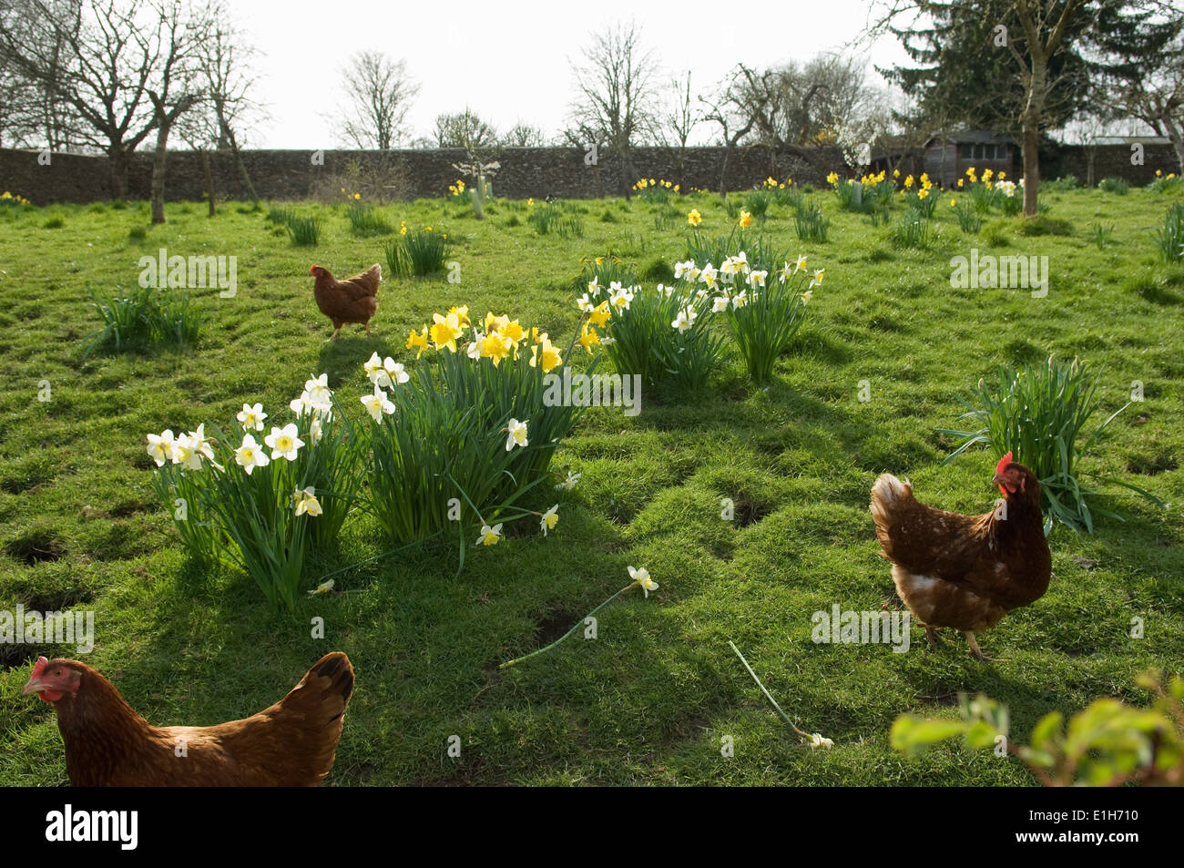Free range hens in field - Stock Image
