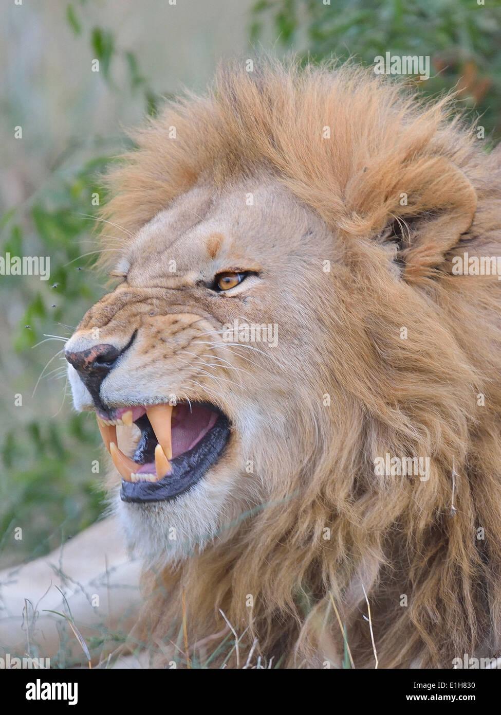 Portrait of a growling Masai Lion (Panthera leo nubica), Mara Triangle, Maasai Mara National Reserve, Narok, Kenya, Africa - Stock Image