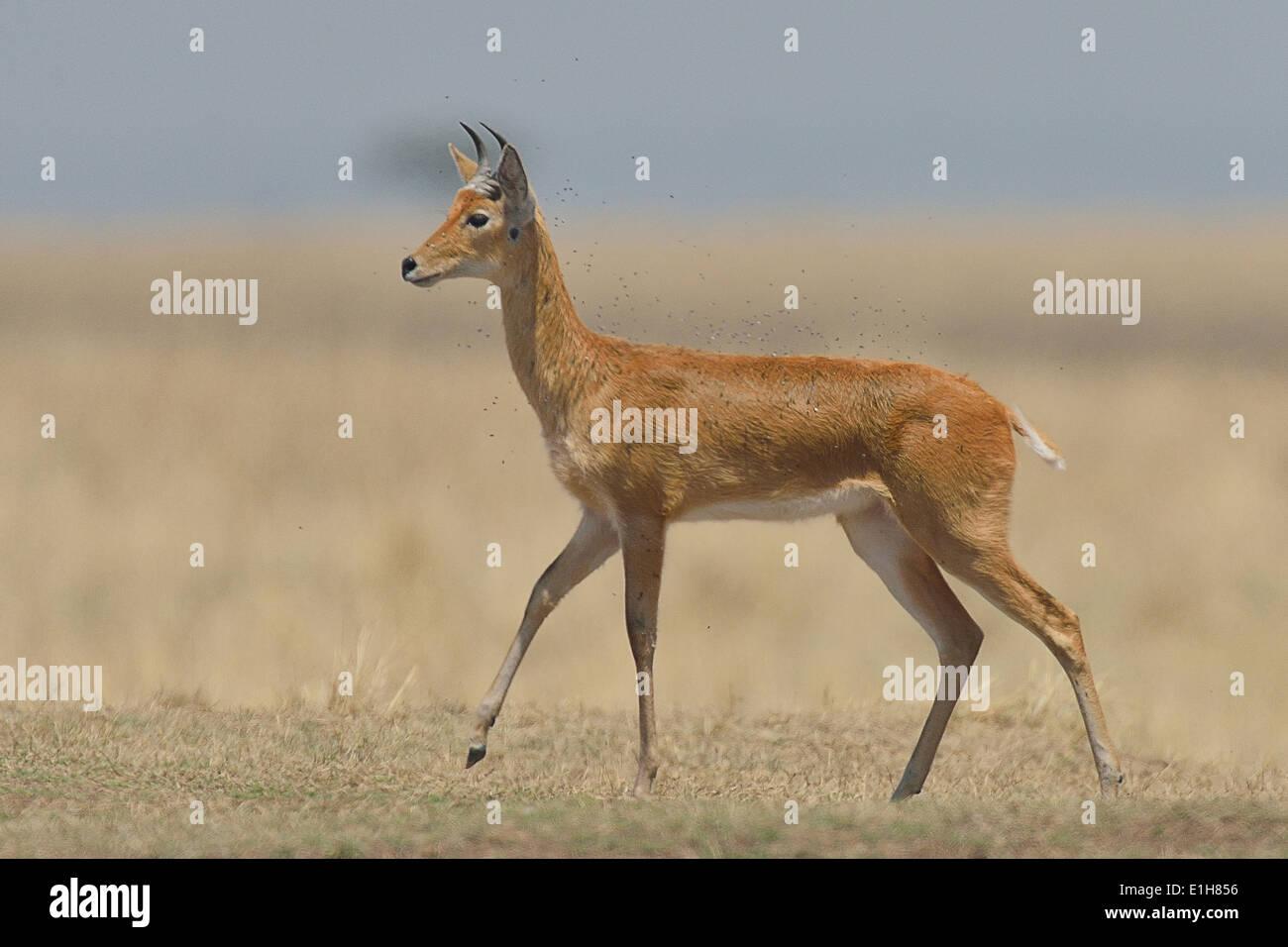 Bohor Reedbuck (Redunca redunca), Mara Triangle, Maasai Mara National Reserve, Narok, Kenya, Africa Stock Photo
