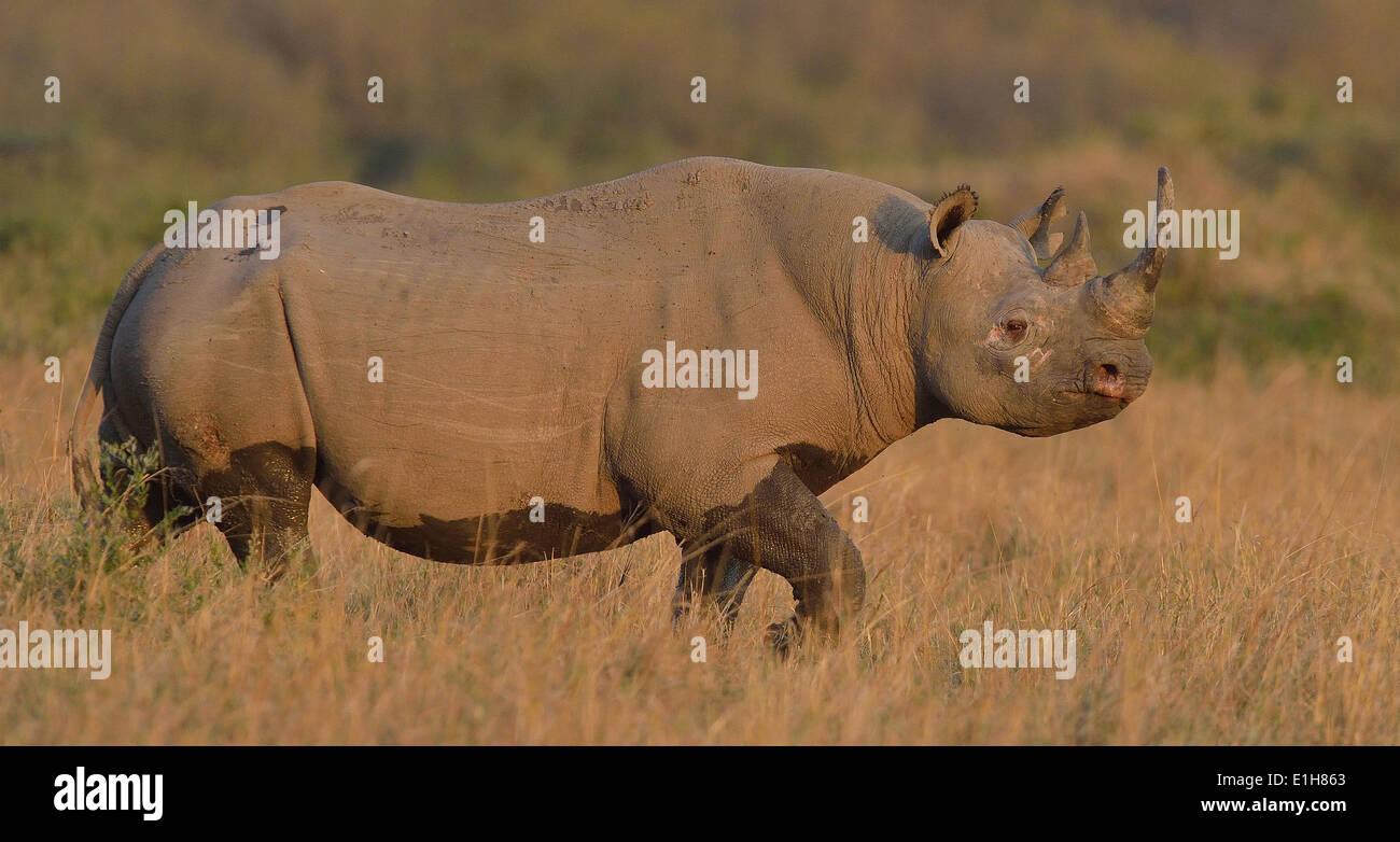 Black Rhino (Diceros bicornis), Mara Triangle, Maasai Mara National Reserve, Narok, Kenya, Africa Stock Photo