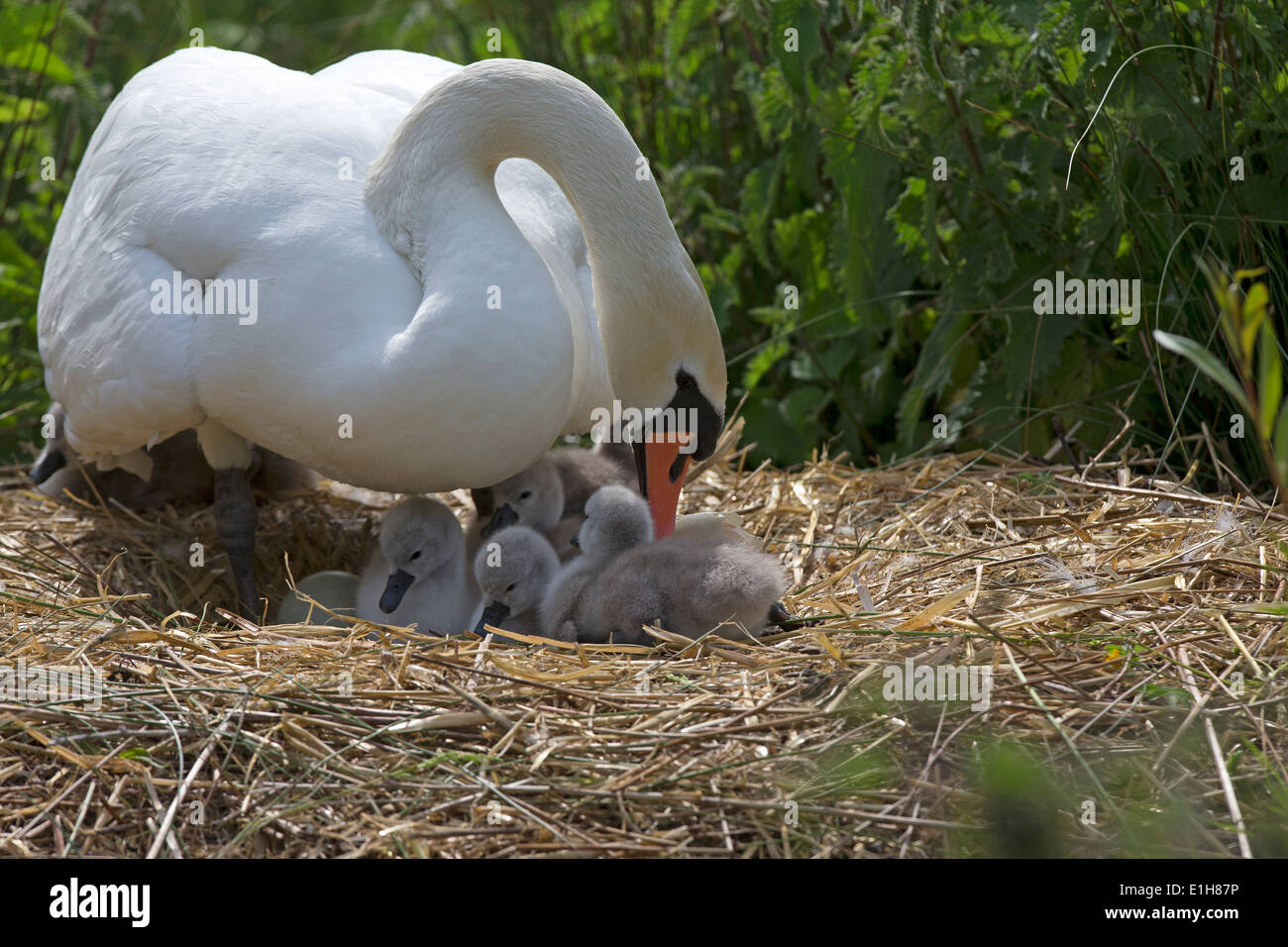 Mute Swan, Cygnus olor with cygnets on the nest - Stock Image