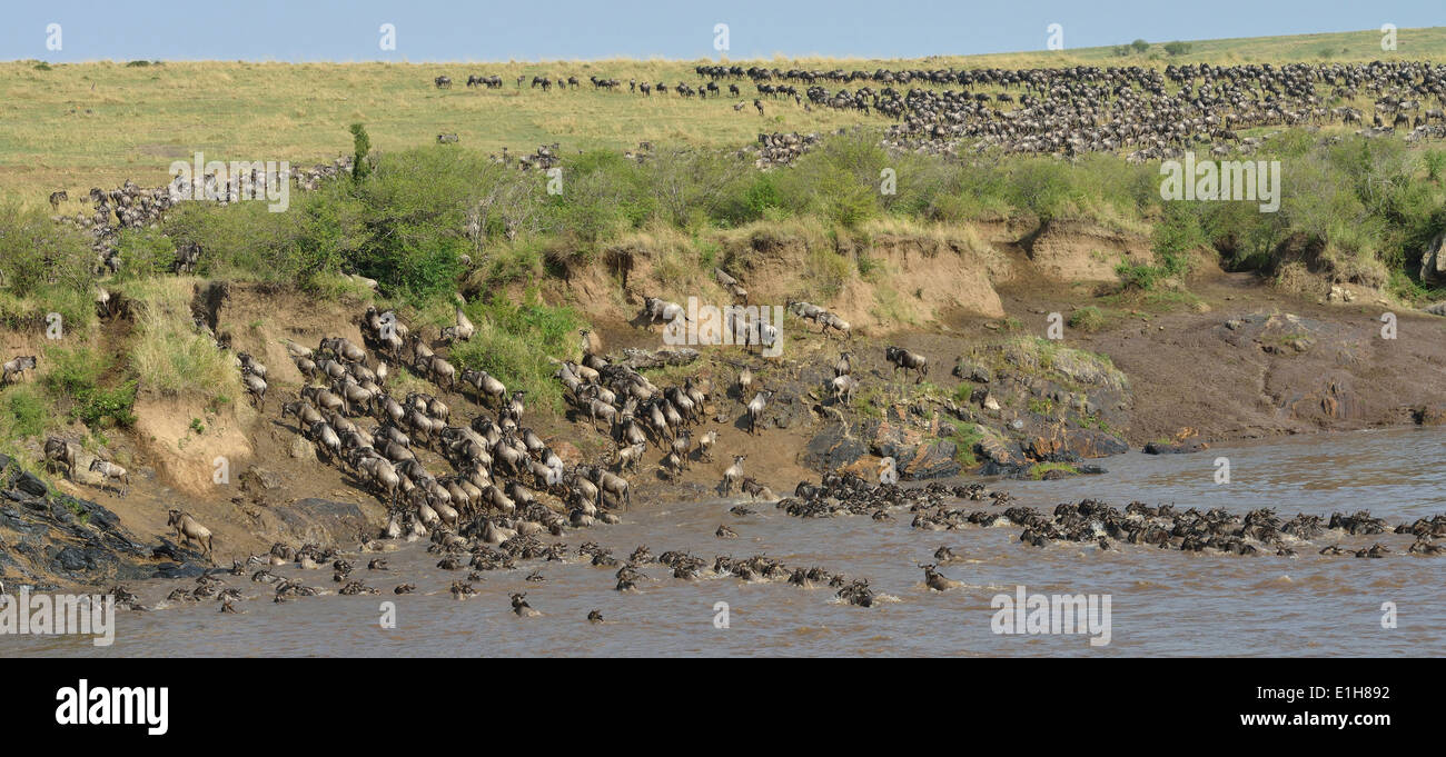 Western white-bearded wildebeest crossing onto distant riverbank Stock Photo