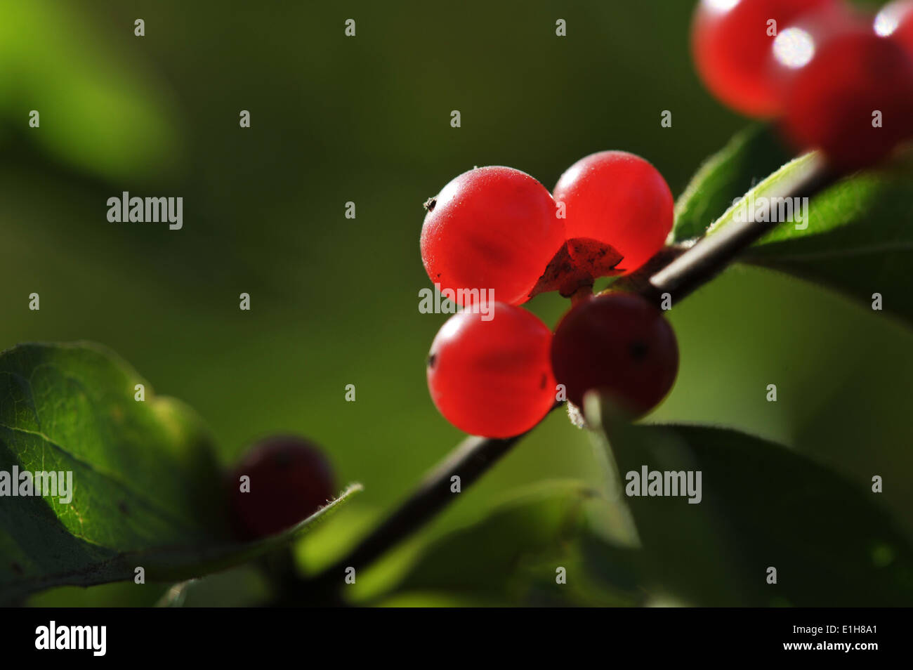 Close up of red berries on twig Stock Photo