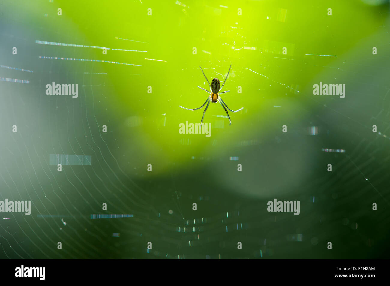Close up of spider in web - Stock Image