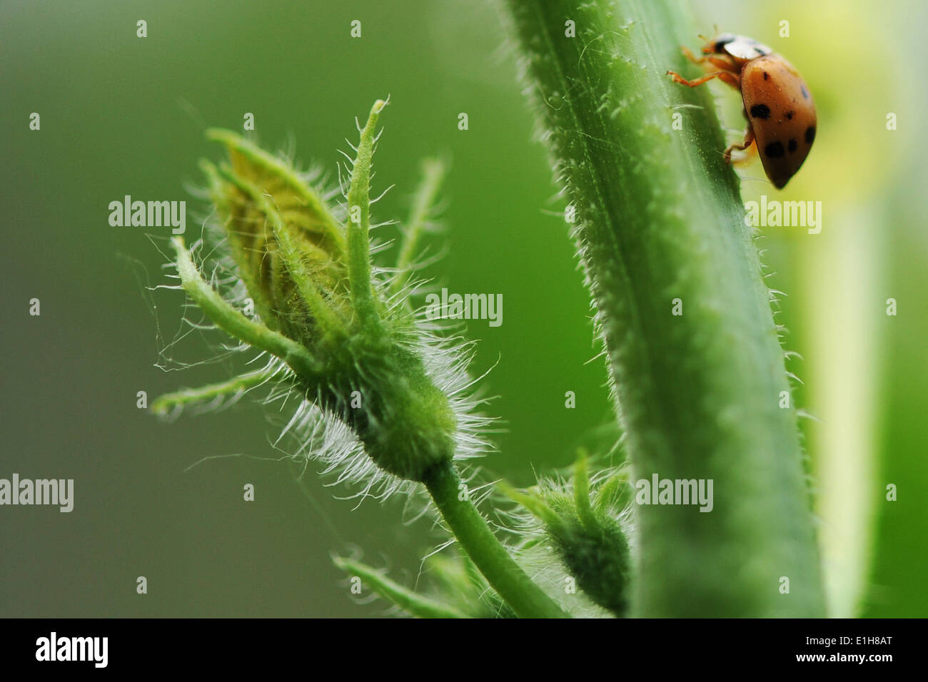 Close up of beetle crawling up flower stem - Stock Image