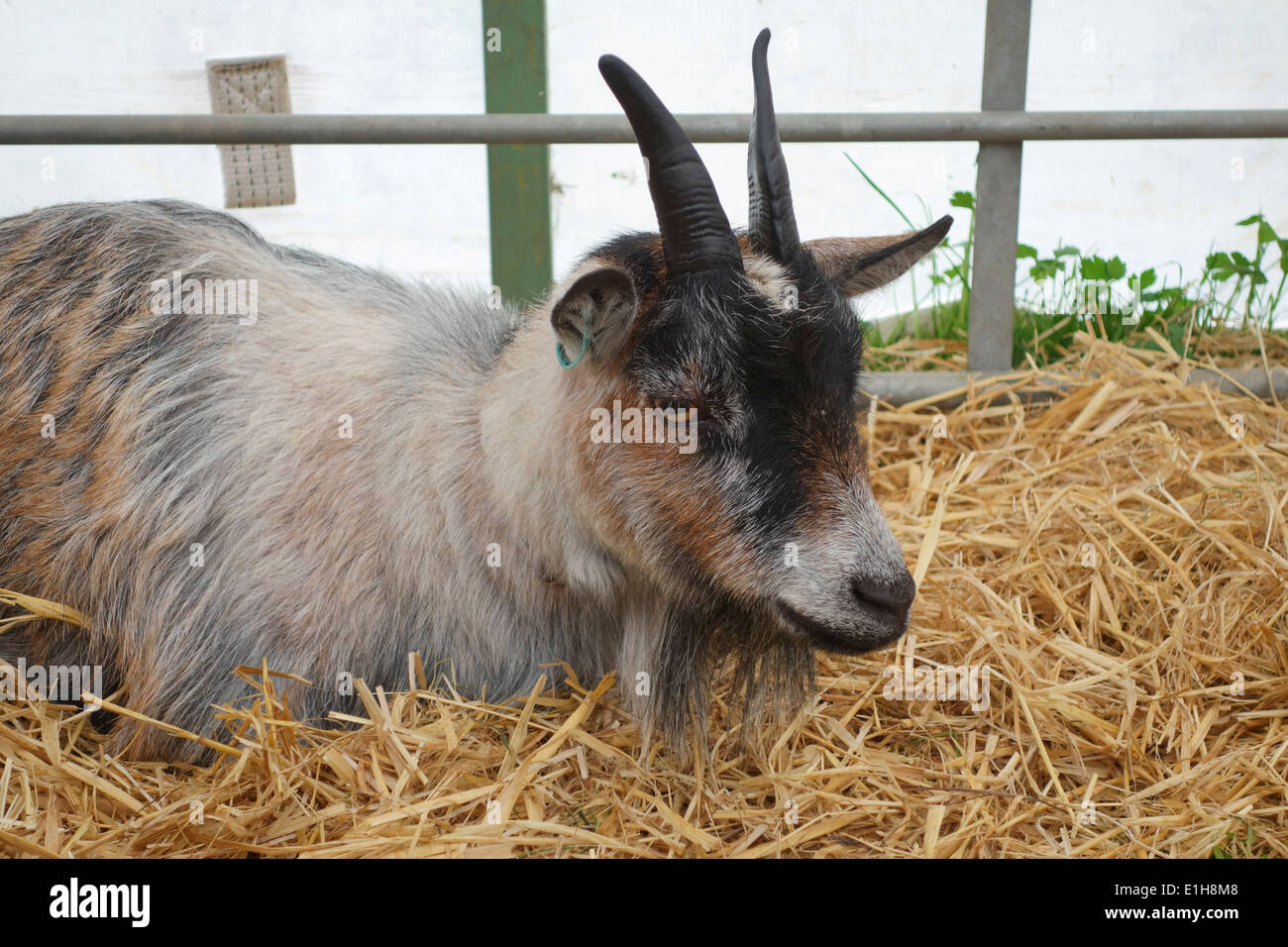 A pygmy goat at The Bath & West Show, Shepton Mallet, Wilts - Stock Image