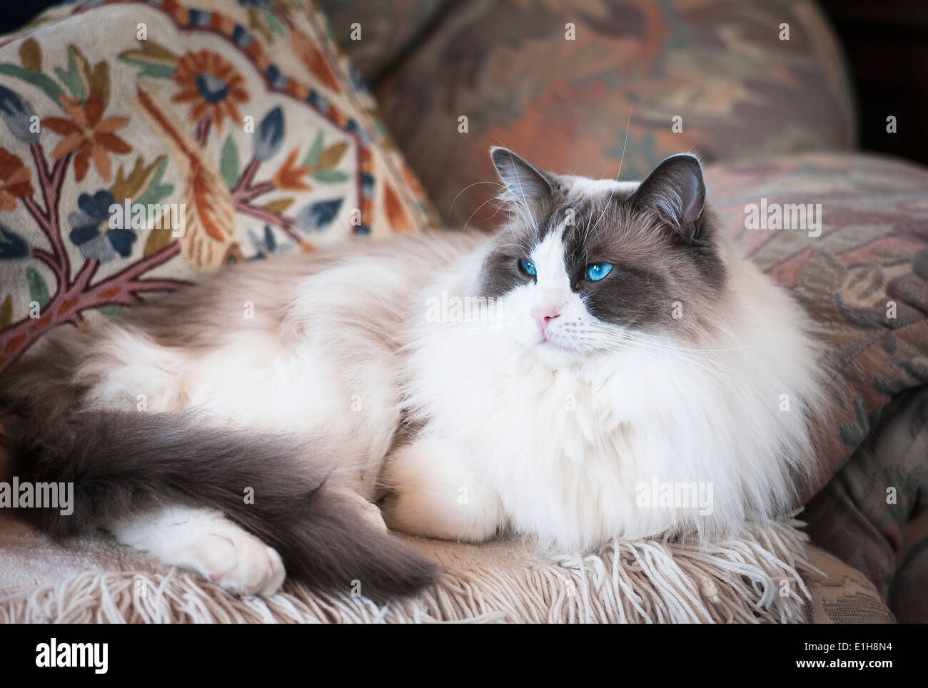 Mature Ragdoll male cat in armchair comfort - Stock Image