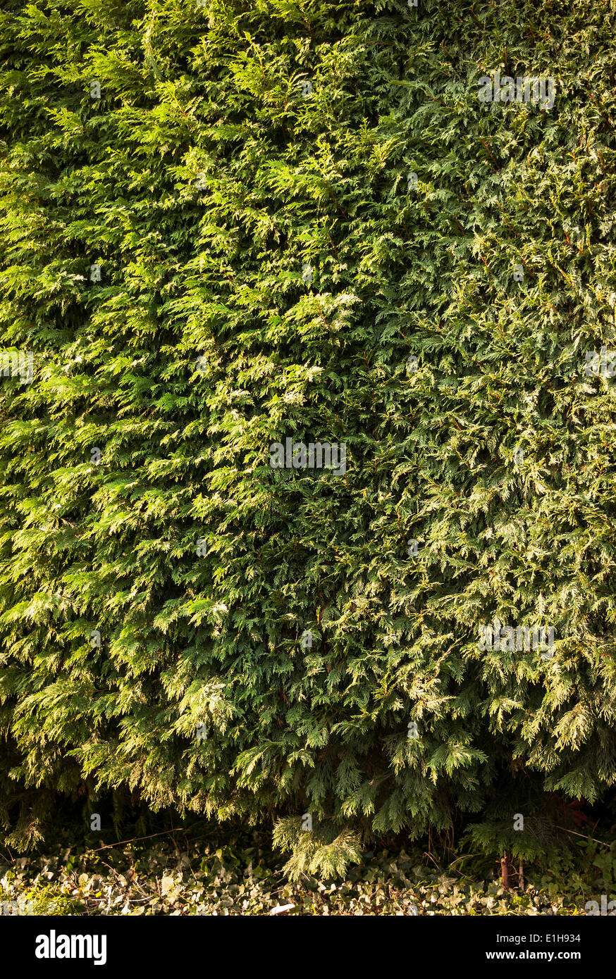 Conifer hedge showing before and after annual trimming - Stock Image