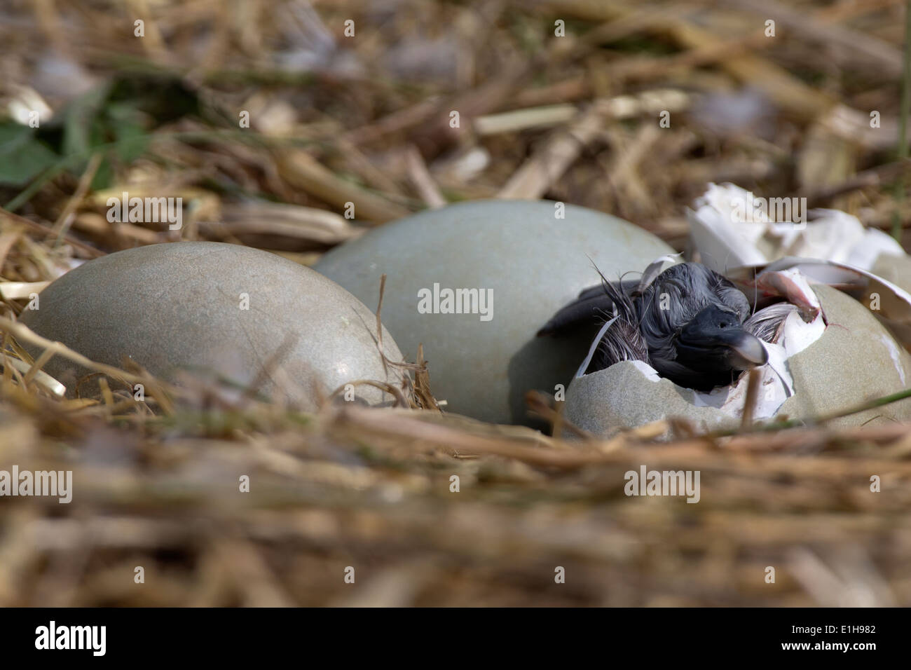 Mute Swan, Cygnus olor cygnet hatching from its egg - Stock Image