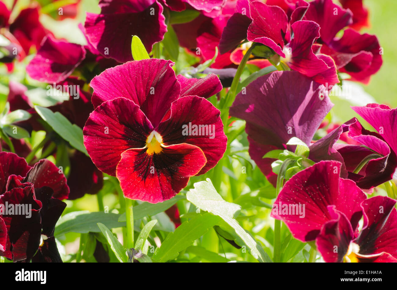 Group of sunlit red pansies Stock Photo