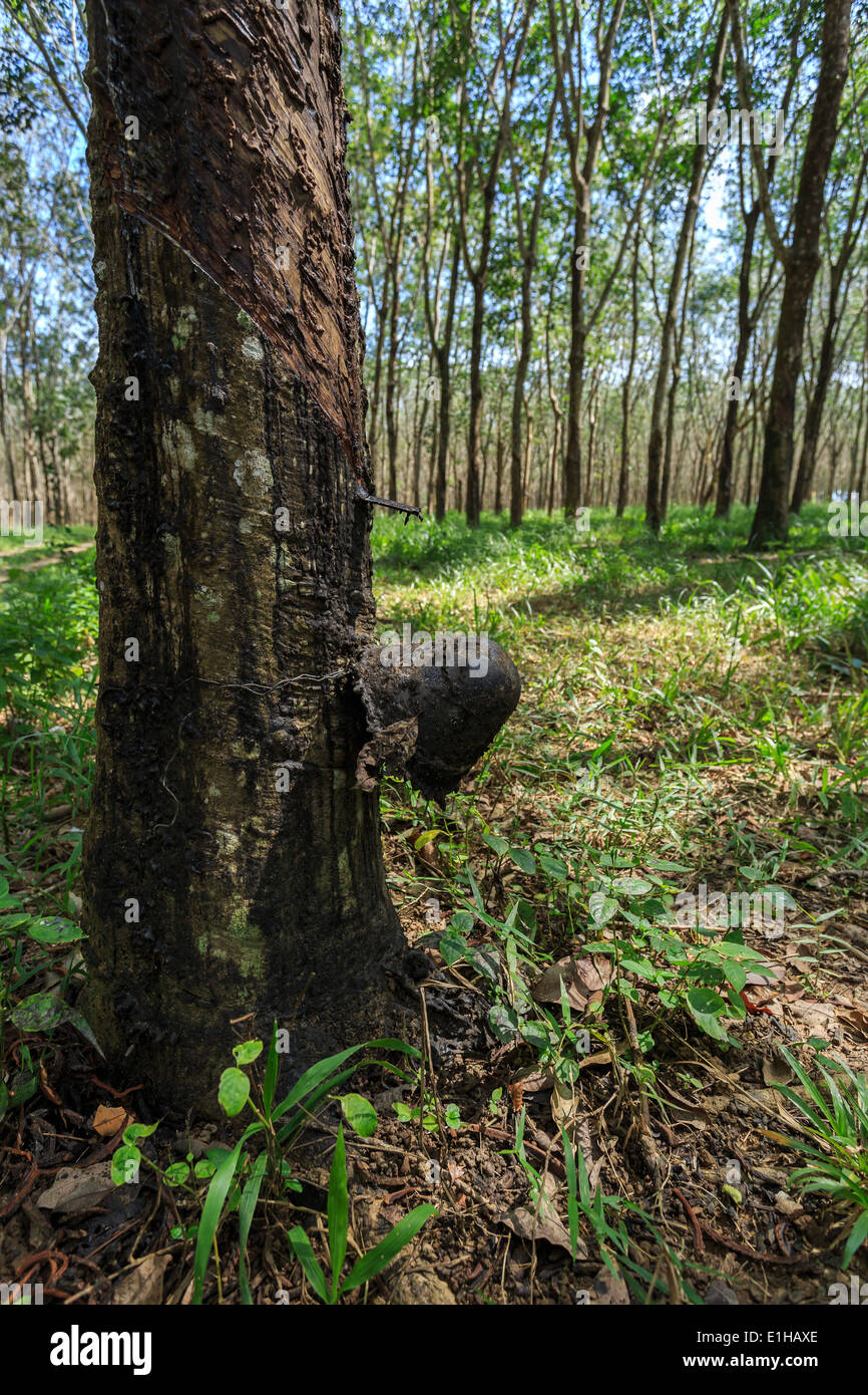 Tapping latex from a rubber tree closeup - Stock Image